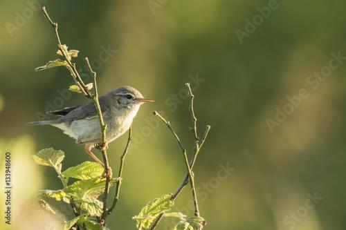 Foto Willow warbler bird, Phylloscopus trochilus