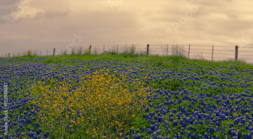 Poster Texas Bluebonnets and wildflowers along backroads of west Texas at sunset