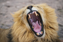 Close-up Of Lion Roaring