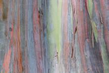 Multicolored Exotic Rainbow Eucalyptus Tree Bark Unique Texture Background