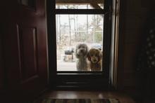 Portrait Of Labradoodles Seen Through Closed Glass Door