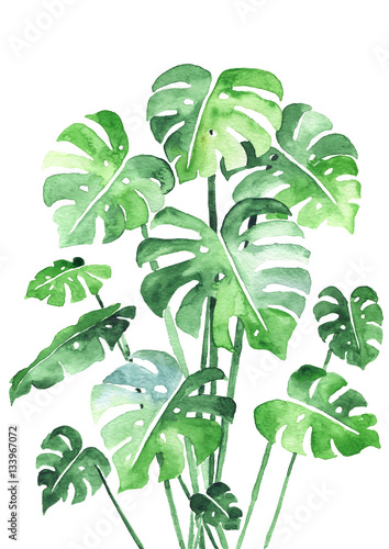 Monstera leaves set. Beautiful watercolor painting of a tropical plant leaves. Ideal for prints, decoration and interior. Isolated on white
