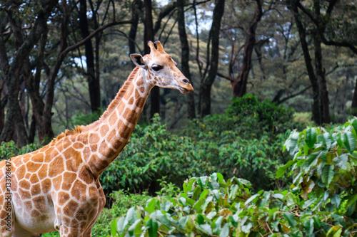 Autocollant pour porte Girafe Giraffe