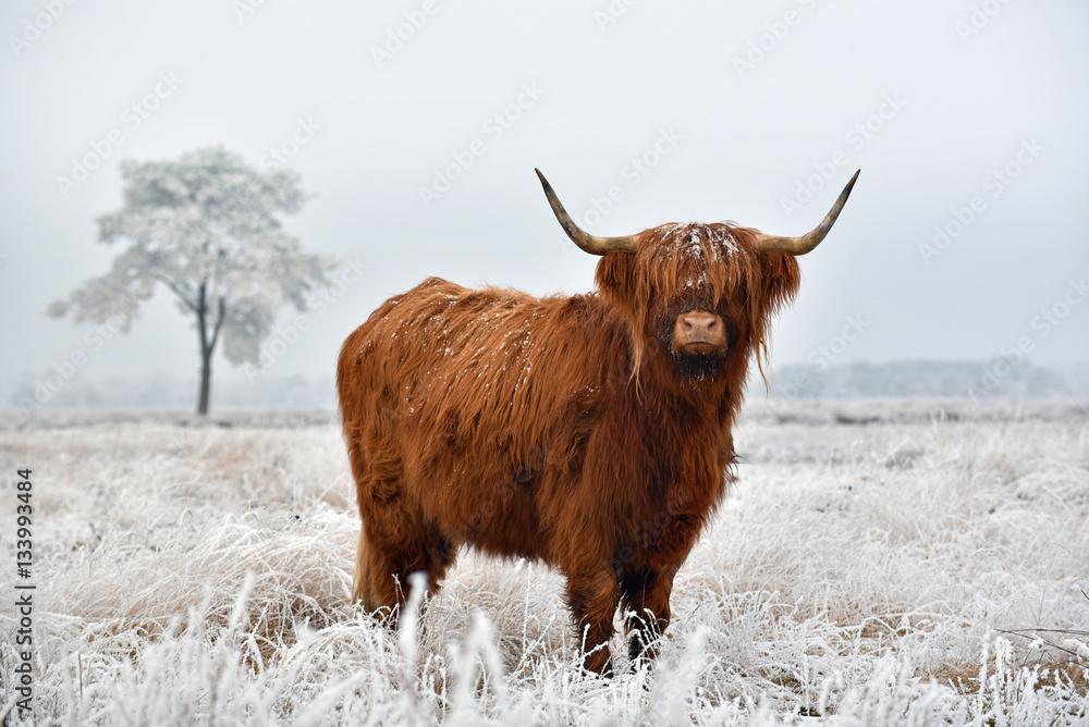 Fototapeta Scottish highlander in a natural winter landscape.