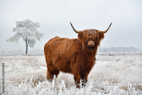 Scottish highlander in a natural winter landscape.