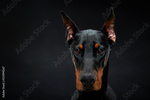 Dobermann Portrait Wallpaper Mural