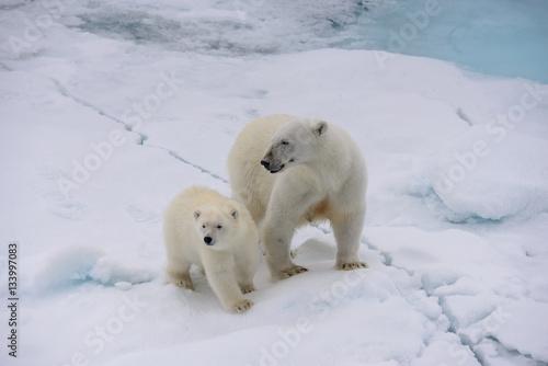In de dag Ijsbeer Polar bear (Ursus maritimus) mother and cub on the pack ice