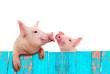 Leinwanddruck Bild - Funny pig hanging on a fence. Studio photo. Isolated on white background.