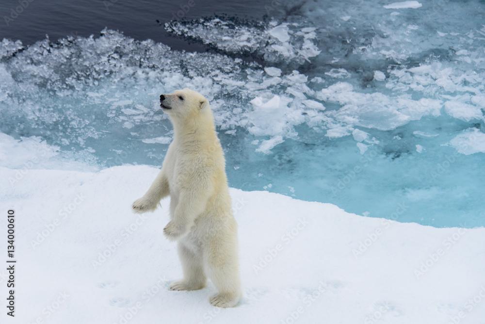 Polar bear (Ursus maritimus) cub standing on the pack ice, north