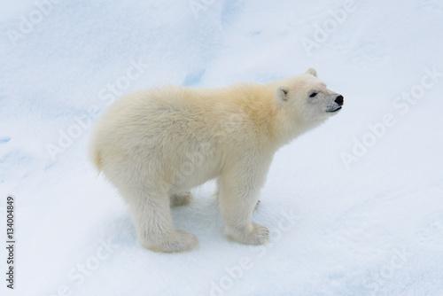 Poster Polar bear Polar bear (Ursus maritimus) cub on the pack ice, north of Svalb