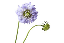 Scabiosa On White Background