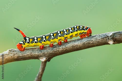 Fotografía  Spurge hawk-moth
