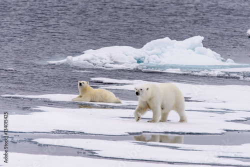 In de dag Ijsbeer Polar bear (Ursus maritimus) mother and cub on the pack ice, nor