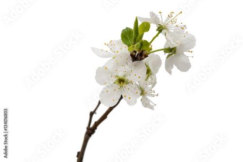Fototapeta kwiaty wiśni na białym tle