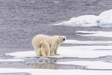 Panel Szklany Eko Polar bear (Ursus maritimus) mother and cub on the pack ice, nor