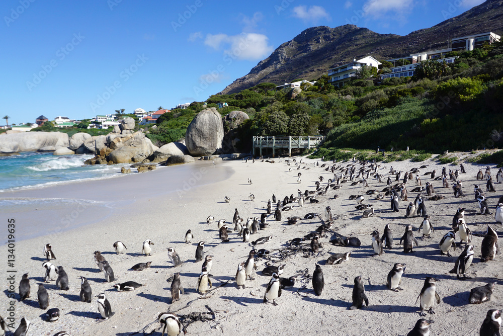 African Penguins colony at Boulders Beach, Table Mountain Nation
