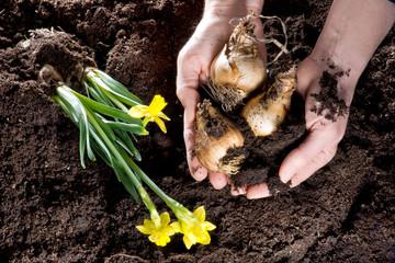 Einpflanzen von Narzissen und Blumenzwiebel in Gartenerde