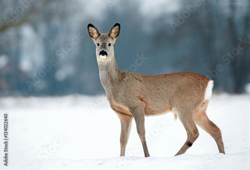Foto op Plexiglas Ree Young roe buck without antlers during winter time