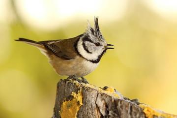 funny crested tit at garden bird feeder