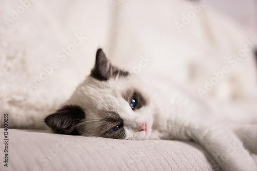 Fototapety, obrazy:  A cute Ragdoll kitten on a white sofa.