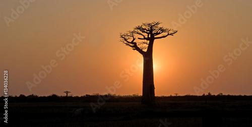 Door stickers Baobab Baobab, Adansonia grandidieri, allée des baobabs,zone protégée, Morondava, Madagascar