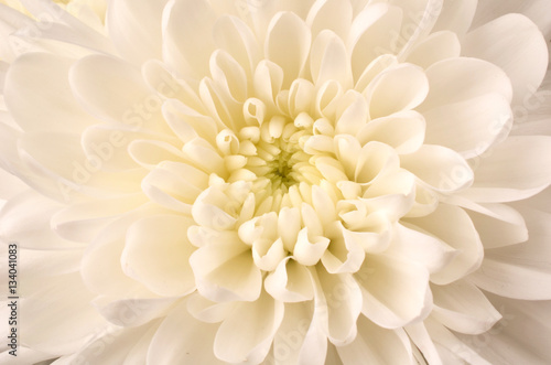 Papiers peints Dahlia White Chrysanthemum