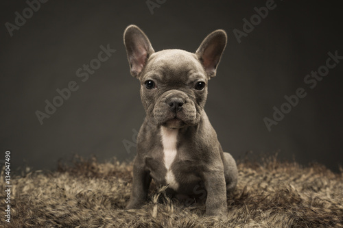 Deurstickers Franse bulldog Blue French Puppy