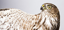 A Portrait Of A Sharp-Shinned Hawk Against A White Background.