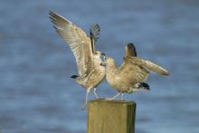 Herring Gull Larus Agentatus Immatures Landing On Breakwater