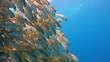 Красочная стайка рыб луцианов. Увлекательные подводные погружения в Красном море близ Египта.