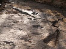 Fossil Of Herbivorous Dinosaur...