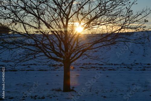 Ein Kastanien - Baum  (Quercoideae ) beim Sonnenuntergang im Winter mit Schnee