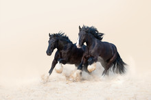 Two Beautiful Black Stallion Galloping In The Sand On A Light Neutral Background. Herd Of Horses In The Yellow Sands
