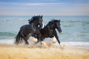 Fototapeta na wymiar Two beautiful big horses breed Shire gallop along the beach picking up sand against the blue sea.