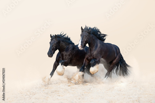 Foto Two beautiful black stallion galloping in the sand on a light neutral background
