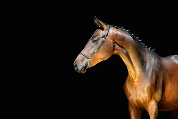 Fototapeta na wymiar Beautiful young horse on a black background looking to the side. Sports stallion with braided mane in halter pin.