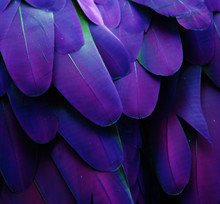 Macro Photograph Of The Blue And Purple Feathers Of A Macaw.