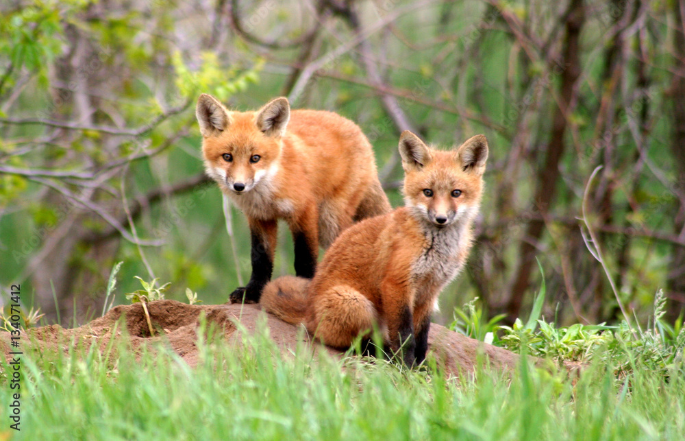 Fototapety, obrazy: Amazingly beautiful red fox kits