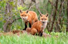 Amazingly Beautiful Red Fox Kits