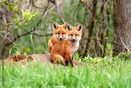 Carta da parati Amazingly beautiful red fox kits
