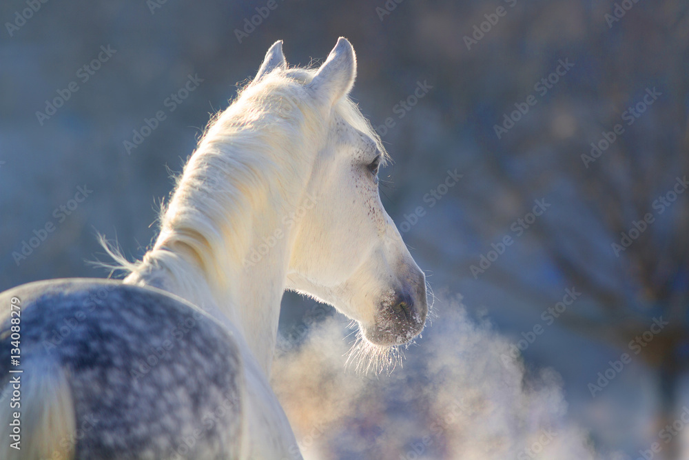 Fototapety, obrazy: White horse portrait with steam from nostril at sunset light