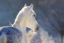 White Horse Portrait With Stea...