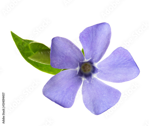 Fotografía Periwinkle flower isolated on white background
