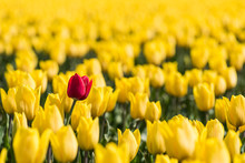 A Red Tulip Is Standing In A F...