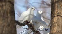 White Dove On The Tree In Nature
