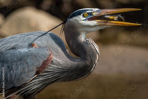 Αφίσα  Great Blue Heron and Fish