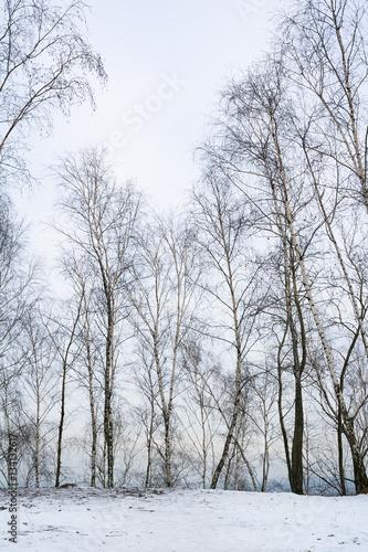 Fotografia, Obraz  Group of bare trees during winter season