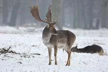 The Fallow Deer (Dama Dama) In A Winter Landscape.