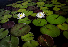 Two Lotus Flowers. Two Lotus Flowers Floating Among Lily Pads In A Northern Michigan Pond.