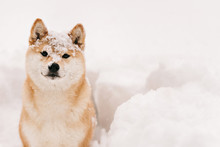 Good Dog On Winter Walk, Frozen Dog In The Snow